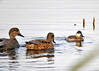 "<div class=""jaDesc""> <h4>Male Ruddy Duck with Gadwall Pair - November 10, 2014 </h4> <p>Gadwalls are about the same size as Mallards.  So you can see how small the Ruddy Duck is in comparison.  (Main pool at Montezuma NWR) </p> </div>"