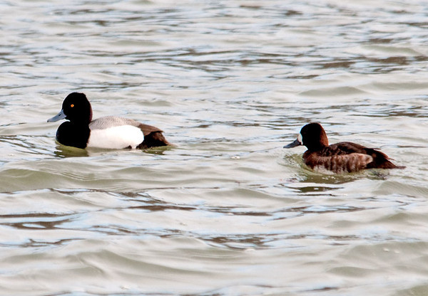 """<div class=""""jaDesc""""> <h4> Lesser Scaup Pair Swimming - March 12, 2011 </h4> <p> More Lesser Scaups swimming at Meyers Point on the East side of Cayuga Lake, NY.</p> </div>"""