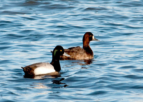 """<div class=""""jaDesc""""> <h4> Greater Scaup Pair - April 5, 2011 </h4> <p> The difference between Greater and Lesser Scaups is very subtle, but in the right light the male Greater Scaup's head has a greenish glow as in this photo. Male and female Scaups winter in separate areas along the southern US coast. Courtship begins during the spring migration to the very northern parts of Canada.</p> </div>"""
