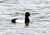 "<div class=""jaDesc""> <h4> Male Lesser Scaup Swimming - March 12, 2011 </h4> <p> I made a stop at Meyers Point on the East side of Cayuga Lake, NY on Saturday afternoon. There were several pairs of Lesser Scaup ducks swimming in the water near the lighthouse.</p> </div>"