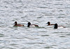 "<div class=""jaDesc""> <h4> Two Pairs of Lesser Scaups - March 12, 2011 </h4> <p> This group of Lesser Scaups was swimming together in the choppy water at Meyers Point on the East side of Cayuga Lake, NY.</p> </div>"
