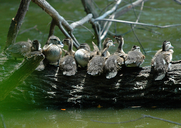 """<div class=""""jaDesc""""> <h4>Wood Duckings Lined Up on Log - August 2006 </h4> <p>  I was wandering along a path through a wooded area when I came upon this scene.  I was lucky to get off a few shots before they all plopped into the water and lined up behind mom.</p> </div>"""