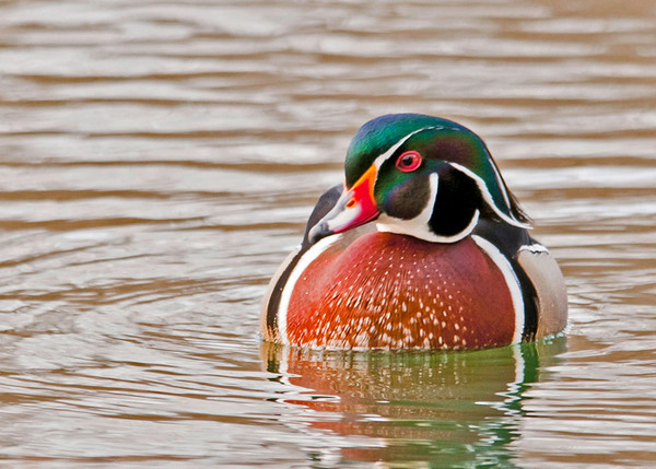 "<div class=""jaDesc""> <h4> Male Wood Duck Getting Closer - April 4, 2013 </h4> <p> </p> </div>"