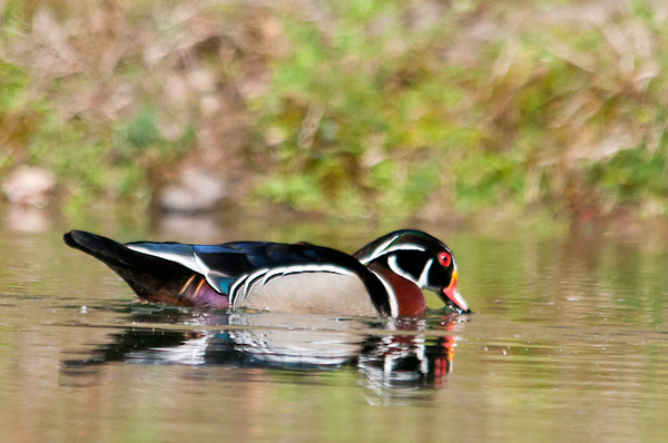 """<div class=""""jaDesc""""> <h4> Male Wood Duck Getting a Drink - April 21, 2013 </h4> <p> This male Wood Duck had his beak dipped in the water for a drink as he paddled across the pond.</p> </div>"""