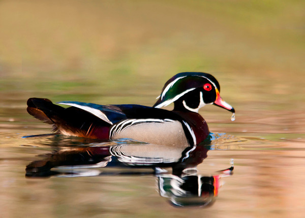 "<div class=""jaDesc""> <h4> Male Wood Duck Finishing Drink - April 21, 2013 </h4> <p> This Wood Duck had just lowered his beak into the water.  I was able to catch a drop falling as he picked his head up.</p> </div>"