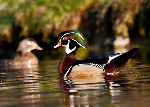 "<div class=""jaDesc""> <h4> Male Wood Duck - Multi-color Crest - May 21, 2013 </h4> <p> The light was just right to show off this male Wood Duck's beautiful crest colors.  </p> </div>"