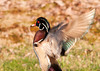 "<div class=""jaDesc""> <h4> Male Wood Duck Flapping Wings - April 21, 2013 </h4> <p> This male Wood Duck was in the grass along the bank of the pond.  He finished his grooming session with a vigorous wing flap.</p> </div>"