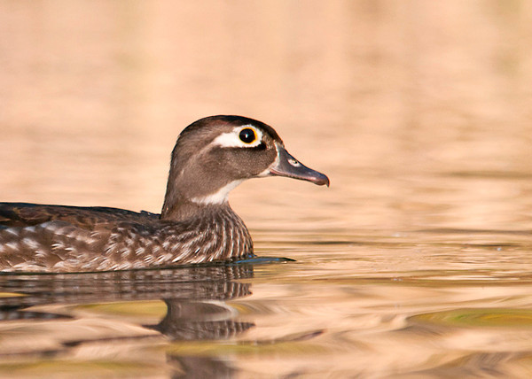 "<div class=""jaDesc""> <h4> Female Wood Duck Paddling By - April 21, 2013 </h4> <p>this female Wood Duck came very close to the edge of the pond where I was hiding under the row boat.</p> </div>"