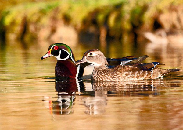 "<div class=""jaDesc""> <h4> Wood Duck Courtship #1 - April 21, 2013 </h4> <p> The Wood Duck flock was a mixture of pairs and bachelors who were trying to steal the ladies from their partners.  The pairs would stick together most of the time. </p> </div>"