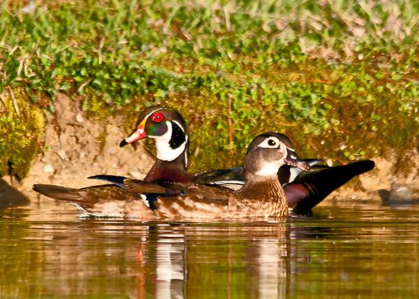 """<div class=""""jaDesc""""> <h4> Wood Duck Courtship #2 - April 21, 2013 </h4> <p>  </p> </div>"""