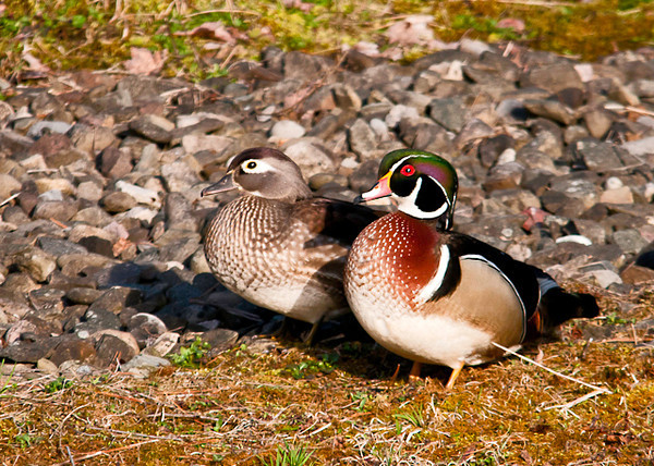 "<div class=""jaDesc""> <h4> Wood Duck Courtship #3 - April 21, 2013 </h4> <p>This pair was taking a break from paddling around the pond.  </p> </div>"
