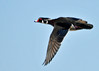 "<div class=""jaDesc""> <h4> Male Wood Duck In-flight Wings Down - March 31, 2014 </h4> <p> Notice how streamlined his hood feathers are when he is in-flight.</p> </div>"