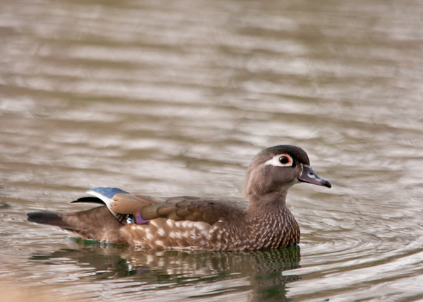 "<div class=""jaDesc""> <h4> Female Wood Duck Passing By - April 4, 2013 </h4> <p> This female Wood Duck was following her mate as they passed by in front of my blind.  She has more subtle coloring, but her markings are very beautiful too.</p> </div>"