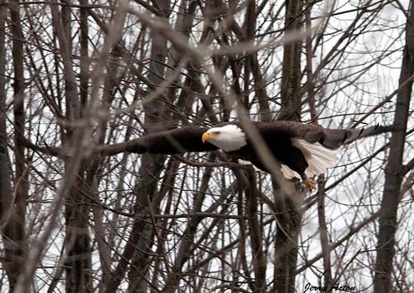 """<div class=""""jaDesc""""> <h4> Bald Eagle - Still Gliding - February 24, 2010 </h4> <p> </p> </div>"""