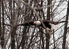 "<div class=""jaDesc""> <h4> Bald Eagle - Still Gliding - February 24, 2010 </h4> <p> </p> </div>"