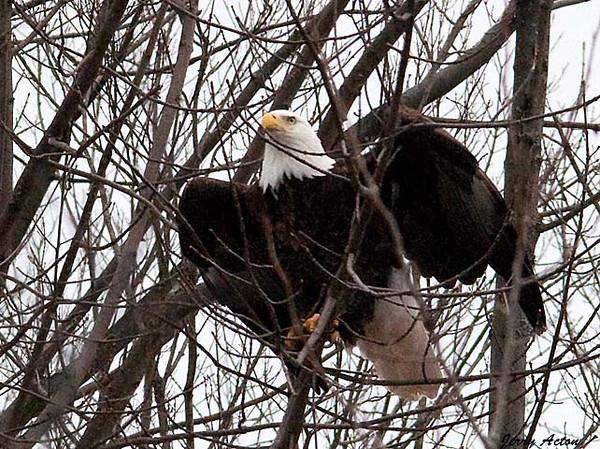 "<div class=""jaDesc""> <h4> Bald Eagle - Wings Up - February 24, 2010 </h4> <p> </p> </div>"