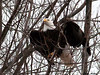 "<div class=""jaDesc""> <h4> Bald Eagle - Wings Up - February 24, 2010 </h4> <p> </p> </div>"
