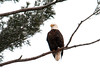 "<div class=""jaDesc""> <h4> Bald Eagle Perched - January 30, 2011 </h4> <p> I got this photo of a Bald Eagle while on a birding trip today. We saw 24 Eagles, but most were either soaring very high up or perched at a great distance.</p> </div>"