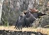 "<div class=""jaDesc""> <h4> Immature Bald Eagle Take-off #2 - November 10, 2014 </h4> <p>Photo taken at Montezuma NWR, NY.</p> </div>"