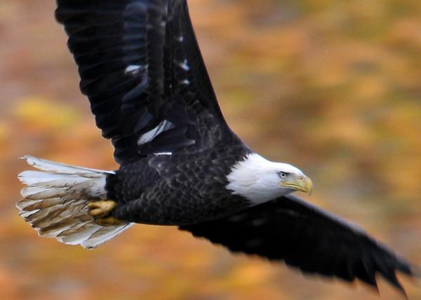 "<div class=""jaDesc""> <h4> Bald Eagle Circling Close-up  - November 5, 2013 </h4> <p></p> </div>"