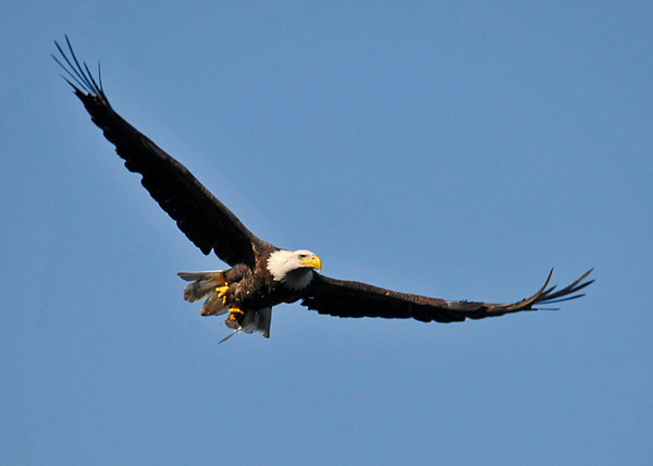 """<div class=""""jaDesc""""> <h4>Bald Eagle In-flight with Catch - September 20, 2013 </h4> <p>After catching a small fish in the Susquehanna River, this adult Bald Eagle was flying toward me in the afternoon sun.</p> </div>"""