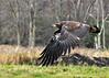 "<div class=""jaDesc""> <h4> Immature Bald Eagle Take-off #3 - November 10, 2014 </h4> <p>Photo taken at Montezuma NWR, NY.</p> </div>"