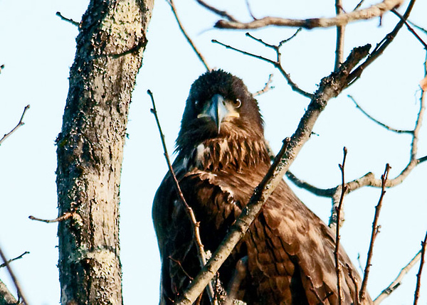 """<div class=""""jaDesc""""> <h4> Immature Bald Eagle Looking at Me - January 29, 2012 </h4> <p> All of the adult Bald Eagles near the Cannonsville Reservoir east of Hancock, NY were soaring well out of range of my camera. Then I noticed this immature Bald Eagle perched in a tree right beside the road.  He was keeping a close eye on me.</p> </div>"""