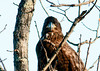 "<div class=""jaDesc""> <h4> Immature Bald Eagle Looking at Me - January 29, 2012 </h4> <p> All of the adult Bald Eagles near the Cannonsville Reservoir east of Hancock, NY were soaring well out of range of my camera. Then I noticed this immature Bald Eagle perched in a tree right beside the road.  He was keeping a close eye on me.</p> </div>"