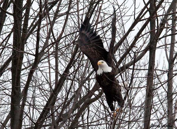 """<div class=""""jaDesc""""> <h4> Bald Eagle - Lift-Off - February 24, 2010 </h4> <p> </p> </div>"""