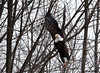 "<div class=""jaDesc""> <h4> Bald Eagle - Lift-Off - February 24, 2010 </h4> <p> </p> </div>"