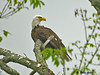 "<div class=""jaDesc""> <h4> Bald Eagle Perched in Old Tree - May 28, 2009</h4> <p>  Two men from our local highway department stopped by to tell me there was a Bald Eagle in a tree less than 2 miles away.  He was still there when I arrived.  Fortunately he flew to a tree closer to the road and I was able to get this shot from my truck.  He must be a resident who fishes our local creek.  This is my first ever Bald Eagle shot.</p> </div>"