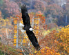 "<div class=""jaDesc""> <h4> Bald Eagle Looking for Dinner - November 5, 2013 </h4> <p>The gates had just been opened at Conowingo Dam in Maryland.  The Bald Eagles know that is the time to go fishing.</p> </div>"
