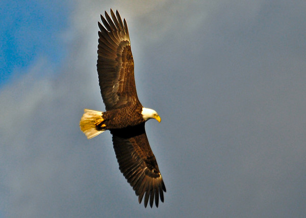 """<div class=""""jaDesc""""> <h4> Bald Eagle in Setting Sunlight - December 17, 2014 </h4> <p>Several Bald Eagles took flight at the Conowingo Dam in Maryland just as the sun was setting.</p> </div>"""