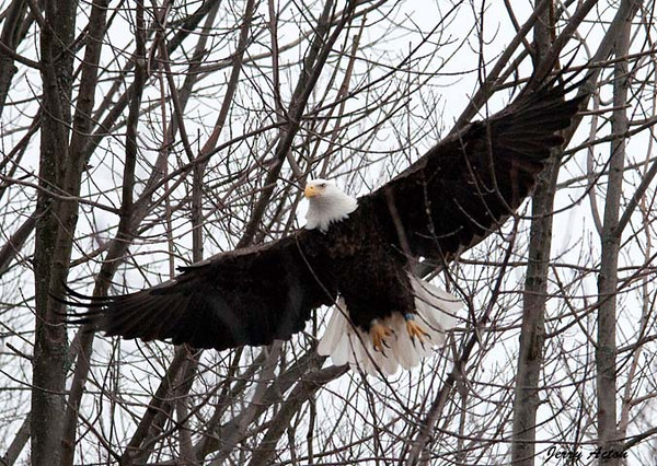 "<div class=""jaDesc""> <h4> Bald Eagle - Full Wing Spread - February 24, 2010 </h4> <p> </p> </div>"