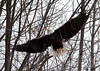 "<div class=""jaDesc""> <h4> Bald Eagle - Full Wing Spread - February 24, 2010 </h4> <p> </p> </div>"
