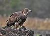 "<div class=""jaDesc""> <h4> Immature Bald Eagle Pauses from Eating - November 10, 2014 </h4> <p>Photo taken at Montezuma Wildlife Refuge, NY.</p> </div>"