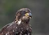 "<div class=""jaDesc""> <h4> Immature Bald Eagle - Tongue Showing - November 10, 2014 </h4> <p>Photo taken at Montezuma Wildlife Refuge, NY.</p> </div>"