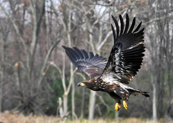 "<div class=""jaDesc""> <h4> Immature Bald Eagle Take-off #4 - November 10, 2014 </h4> <p>Photo taken at Montezuma NWR, NY.</p> </div>"
