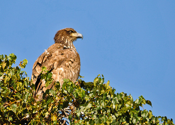 """<div class=""""jaDesc""""> <h4> Immature Bald Eagle Sunning - September 20, 2013 </h4> <p>This immature Bald Eagle selected a spot in the top of a tree along the Susquehanna River at the Conowingo Dam to enjoy the warmth of the morning sun.</p> </div>"""