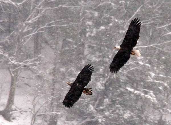 """<div class=""""jaDesc""""> <h4> Adult and Immature Bald Eagles Soaring Together - February 16, 2010 </h4> <p>  As soon as one of the immature Bald Eagles would take off from a tree along the reservoir, an adult would launch and join up behind.  This pair soared together for about 5 minutes before returning to their original perches.  They were at a distance and flying in a moderately heavy snowfall.</p> </div>"""