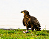 "<div class=""jaDesc""> <h4> Young Bald Eagle Having Breakfast - February 27, 2012 </h4> <p> This young Bald Eagle was finishing his fish breakfast on a patch of lawn by Cayuga Lake at Meyers Point, NY.  I had driven around the entire parking lot looking at the boat dock water areas.  There was not a water bird in sight and I did not hear any song birds in the trees. I was ready to leave when a group of crows started making a loud ruckus near the lake edge.  Looking over that way, I immediately saw this Bald Eagle glowing in the early morning sun.  My thanks to the crows or I would have missed him.</p> </div>"