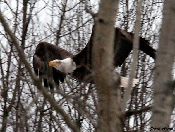 "<div class=""jaDesc""> <h4> Bald Eagle - Small Wing Pump - February 24, 2010 </h4> <p> </p> </div>"