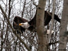 "<div class=""jaDesc""> <h4> Bald Eagle - Small Wing Pump - February 24, 2010 </h4> <p> </p> </div>"