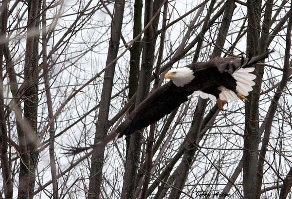 """<div class=""""jaDesc""""> <h4> Bald Eagle - Gliding - February 24, 2010 </h4> <p> </p> </div>"""