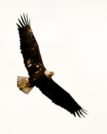 "<div class=""jaDesc""> <h4> Bald Eagle Full Wing Spread - April 26, 2013 </h4> <p>He made a second pass over head, this time with wings fully spread; then headed up along Owego Creek to look for a fish breakfast.</p> </div>"