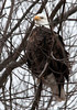 "<div class=""jaDesc""> <h4> Bald Eagle - Eyes Left- February 24, 2010 </h4> <p>  </p> </div>"
