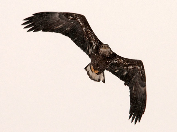 """<div class=""""jaDesc""""> <h4> Immature Bald Eagle In-flight - February 16, 2010 </h4> <p>  This immature Bald Eagle was flying straight at me and passed directly overhead.  I struggled to get him in focus with the in-flight motion and steady snowfall.  I could see he was looking at me as he flew over.</p> </div>"""