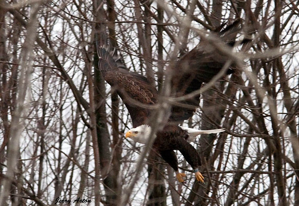 "<div class=""jaDesc""> <h4> Bald Eagle - Maneuvering Through Trees - February 24, 2010 </h4> <p>  </p> </div>"