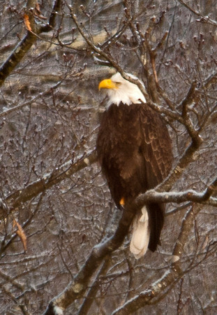 "<div class=""jaDesc""> <h4> Adult Bald Eagle Perched Along River - January 27, 2013 </h4> <p> In the area where we saw this adult Bald Eagle, the river water was shallow, clear and fast running.  Probably a pretty reliable fishing spot.</p> </div>"