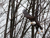 "<div class=""jaDesc""> <h4> Bald Eagle - Wings High - February 24, 2010 </h4> <p> </p> </div>"